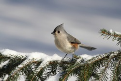 Tufted Titmouse (baeolophus bicolor) on a perch covered with snow