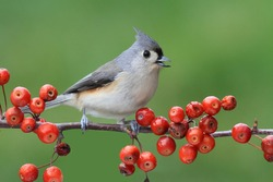 Tufted Titmouse (baeolophus bicolor) on a wild cherry perch with a colorful background