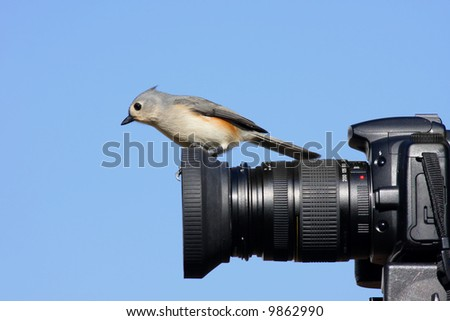 Tufted Titmouse (baeolophus bicolor) on the lens of a camera