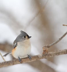 Tufted titmouse, Baeolophus bicolor, perched on a tree branch with snow falling