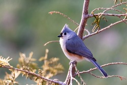 Tufted Titmouse (Baeolophus Bicolor) Perched on a Tree in Winter