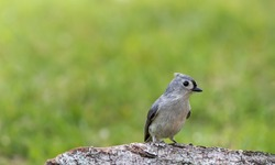 Tufted Titmouse, Baeolophus bicolor, perched on tree stump in late afternoon green grass background copy space