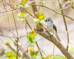 Tufted titmouse bird in a lilac tree