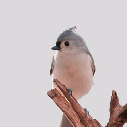 Tufted titmouse bird sitting on a dry tree branch with black background