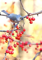 Tufted Titmouse in the bright light