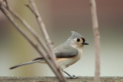Tufted Titmouse standing near tree branch
