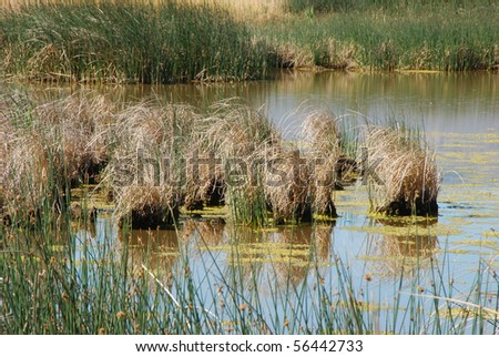 Tule And Reed Grass Or Sedge At The Edge Of The Summer Lake Marsh ...