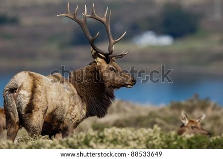 Tule Elk (Cervus canadensis) in a wilderness at Point Reyes National Seashore, California.