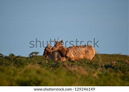 tule elk grazing