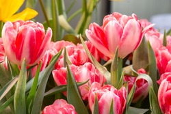 Tulip. Beautiful bouquet of tulips. colorful tulips. tulips in spring,colourful tulip with dew drops