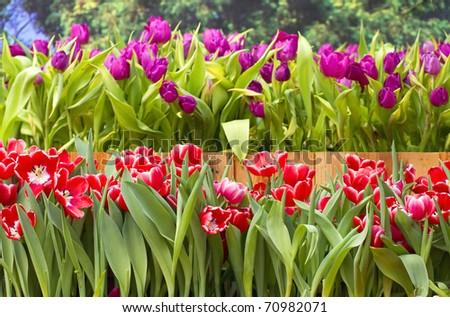 Tulip beautiful red color.