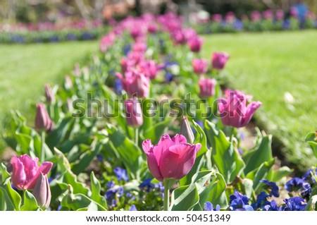 Tulip Bed in the Smithsonian Castle Garden