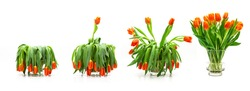 Tulip bouquet sequence from faded to blossomed