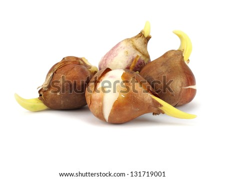 tulip bulbs on a white background