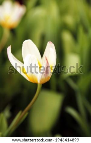Tulip Concerto for a magazine or website. Botanical Garden. Europe Foto d'archivio ©