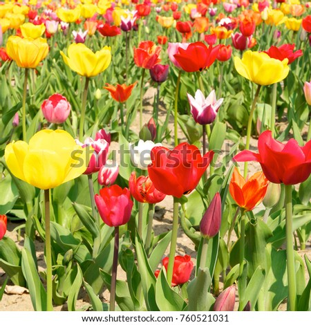 Tulip cultivation with yellow, red and pink flowers on sandy ground; Popular cut flowers in springtime; Flower breeding
