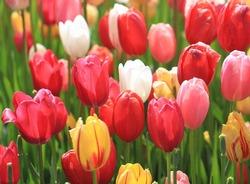Tulip Festival at Albany New York!