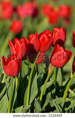 Tulip festival in Skagit Valley, Washington state - stock photo