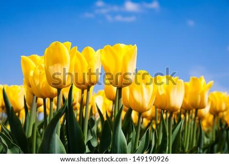 Tulip field   #149190926