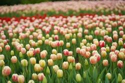 Tulip field. Beautiful tulip among tulips. Pink tulips with white stripe close-up.