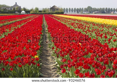 tulip field in the Netherlands