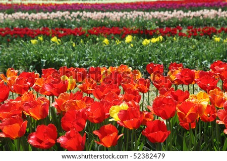 Tulip field on the farm in Holland Michigan