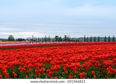 Tulip field with colorful rows of flowers, tulip festival in Washington state
