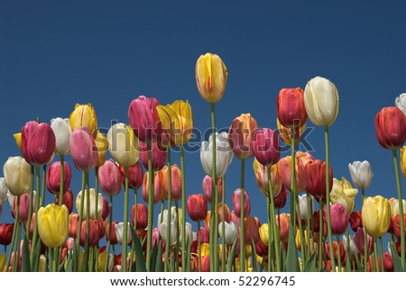 Tulip field with multi-colored tulips in front of a blue sky