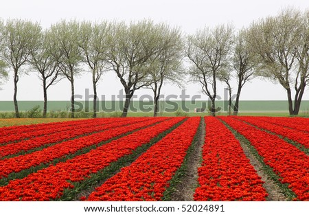tulip field with row of trees in the background