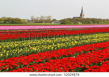 tulip field with town on the background