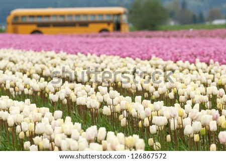 Tulip fields and schoolbus in Skagit valley, Washington