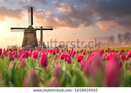 Tulip fields and windmill in Netherland, near Lisse. Stok fotoğraf ©