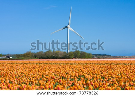 tulip fields in Holland in the spring and wind tower