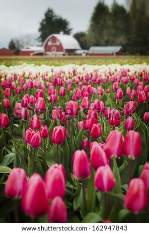 Tulip Fields in the Skagit Valley. The Skagit Valley in the Pacific Northwest of western Washington State is home to some the most beautiful flower fields in the world.