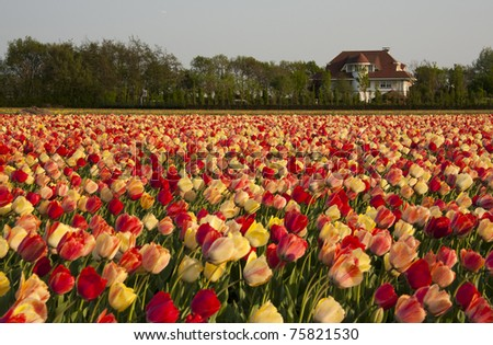 Tulip fields multicolored with a dutch house