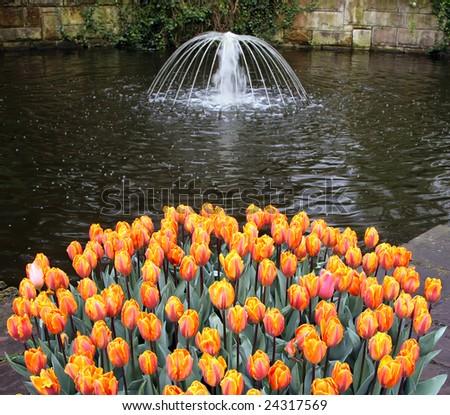 Tulip Flower Picture on Tulip Flower Bed In Keukenhof Gardens Stock Photo 24317569