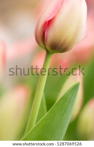 Tulip flower close-up using shallow focus in soft lighting. Soft and gentle spring flower natural background. #1287069526