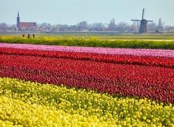 Tulip flower fields in spring near the town of 'Schermerhorn', province 'Noord-Holland', (North-Holland), the Netherlands