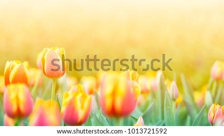 Tulip Flower in Garden. B,Nature background.