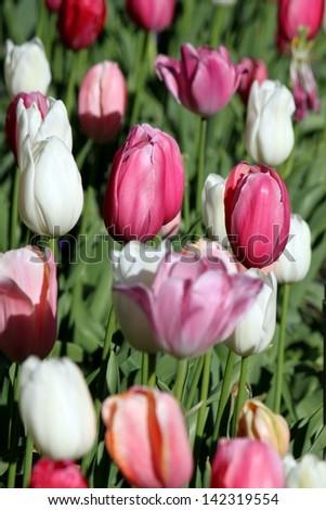 tulip flower in the morning sun