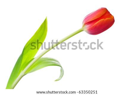 Tulip flower isolated on white background