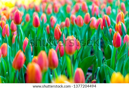 Tulip flower with green leaf background in tulip dome in Thailand #1377204494