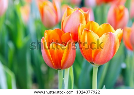Tulip flower with green leaf background in tulip field at winter or spring day for postcard beauty decoration and agriculture concept design. #1024377922