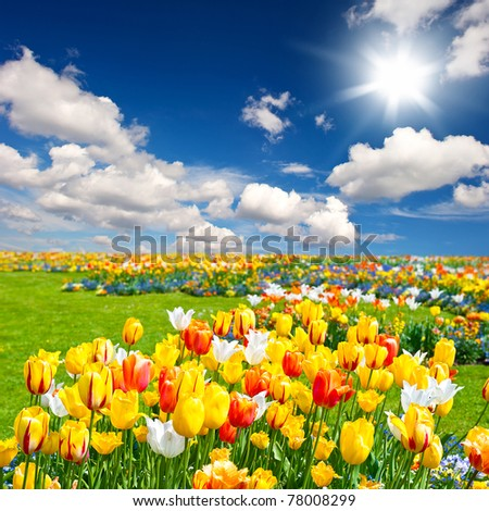 tulip flowers field #78008299