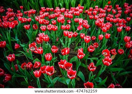 tulip flowers in garden  on spring