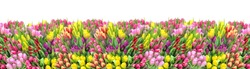 Tulip flowers. Spring tulip flower bouquet. Floral banner