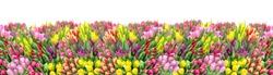 Tulip flowers. Spring tulip flower bouquet. Floral banner