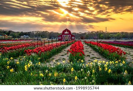 Tulip growing farm at sunset. Sunset tulip farm. Tulip farm at sunset. Tulip flower growing farm at sunset