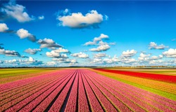 Tulip growing farm on a clear sunny day. Tulip field panorama. Tulip growing field landscape