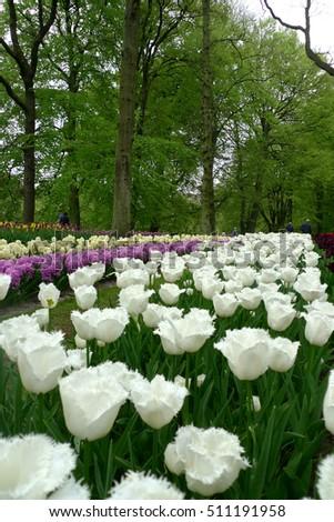 Tulip in the nice garden, colorful tulip #511191958
